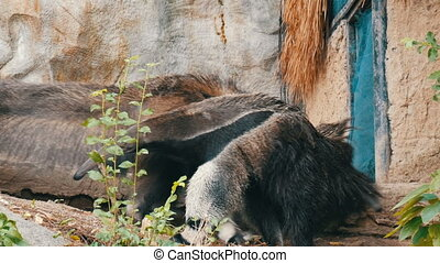 Pair of anteaters is in the khao kheo zoo, Thailand - A pair...