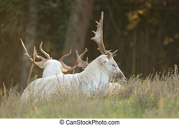 Pair of asian white fallow deer laying in the grass.