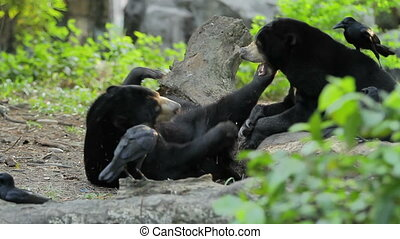 Pair of Asiatic black bear Ursus thibetanus, Selenarctos...