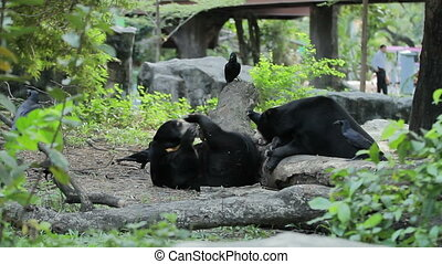 Pair of Asiatic black bear (Ursus thibetanus, Selenarctos...