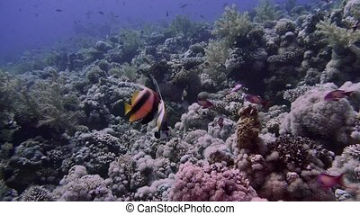 Pair of Bannerfish and pair of Butterflyfish stand under coral reef. Red Sea Bannerfish (Heniochus intermedius) and Golden Butterflyfish or Masked Butterflyfish (Chaetodon semilarvatus). Egypt 4K