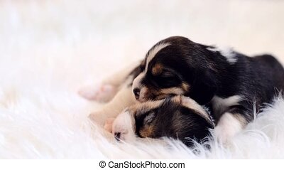 Cutest pair of newborn beagle puppies on soft blanket