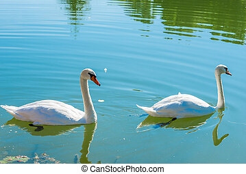 pair of beautiful white swans on a pond on a sunny day