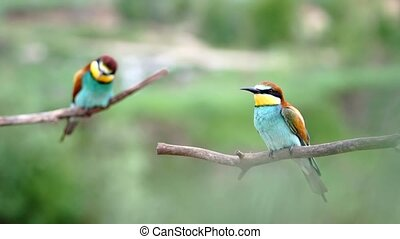 pair of bee-eaters sits on branches and looks around, bird life