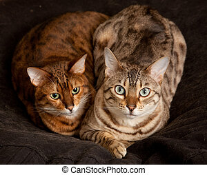 Lovely pair of bengal cats staring straight at the camera from their seat