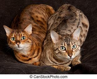Pair of Bengal Kittens on seat