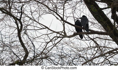 Pair of big black ravens sitting on tree.