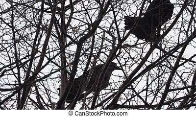 Pair of big black ravens sitting on tree, then flying away.