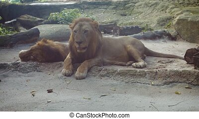 UltraHD video - Pair of enormous, male lions, lying and relaxing in the shade, in their habitat enclosures at a zoo.