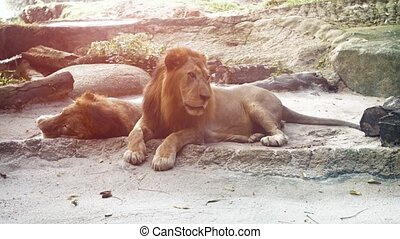 Video 4k - Two big, male lions, lie in the shade as one watches passersby from his habitat enclosure at a zoo.