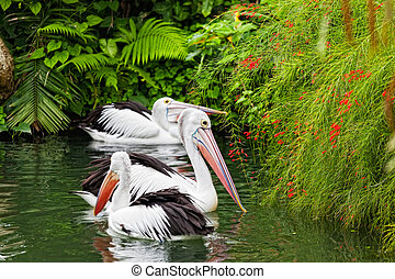 Pair of big pelicans floats on water
