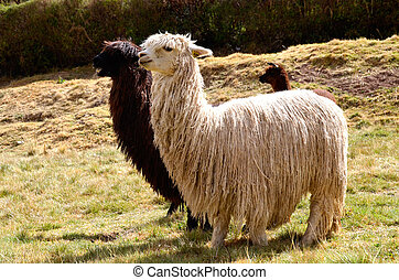 Pair of Black and White Lamas with a Baby in the Background