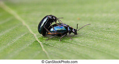 Pair of black beetles, mating behavior