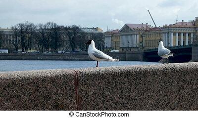 Pair of black-headed gulls, Chroicocephalus ridibundus,...