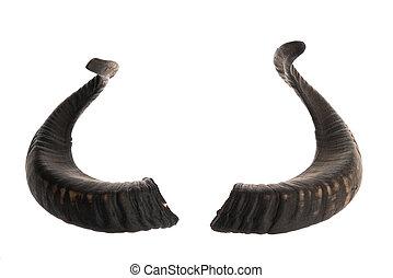 Pair of black ram horns