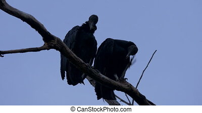 Pair Of Black Vultures On A Tree, Costa Rica - Native 4:2:2,...