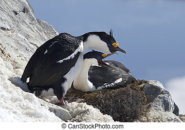 pair of blue-eyed Antarctic cormorant on the nest on a hillside