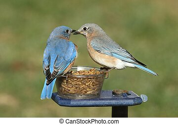 Pair of Bluebirds on a Feeder - Pair of Eastern Bluebird...