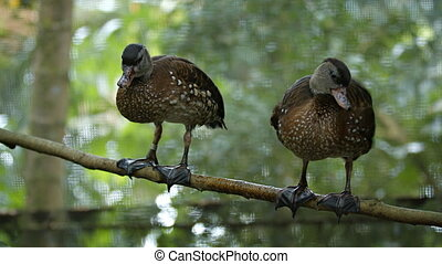 Pair of Bown Ducks Perched on a Tree Branch