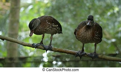 Pair of cute, brown, domestic ducks, with white speckled feathers, perched side by side on a tree branch.