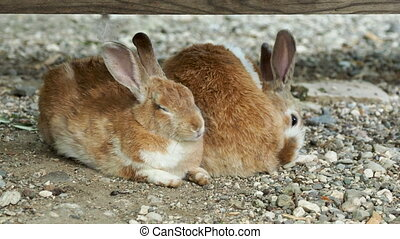 Pair of brown fluffy rabbits sitting on ground.