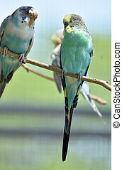 Pair oF Budgies Sitting Together on a Tree Branch