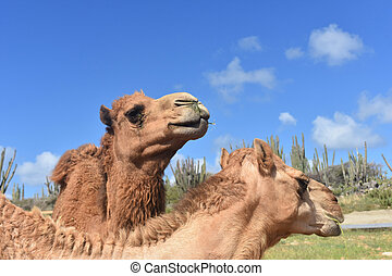 Pair of Camels in the Desert with Cactus - Pair of camels in...