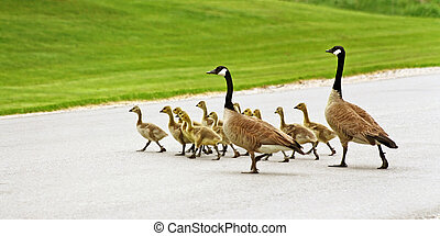 Pair of Canada Geese mates help their gosling brood cross the street