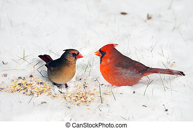 Birds. A pair of Northern cardinals happily sharing seeds in the snow.