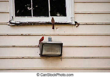 Pair of Cardinals on an Old House