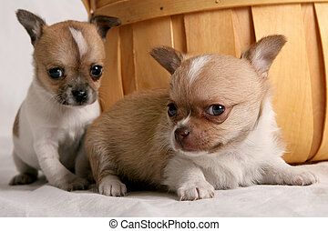 Chihuahua puppies - Pair of Chihuahua puppies in front of a ...