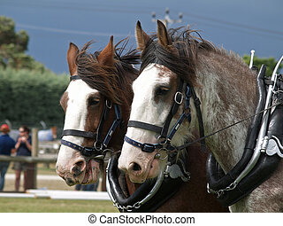 Pair of Clydesdales - Two Clydsedales harnessed for the sled...