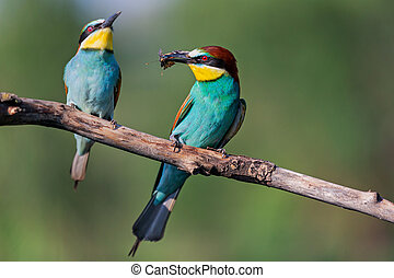 pair of colorful bee-eater during courtship