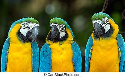 parrots - Pair of colorful Macaws parrots
