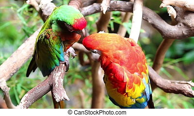 Pair of colorful parrots in the rain in the jungle