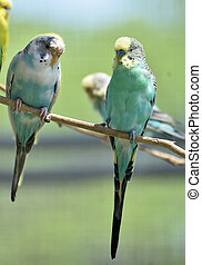 Pair of Common Parakeets on a Thin Tree Branch