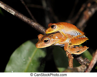 Pair of Convict tree frog at night