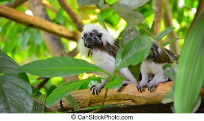 Pair of Cotton Top Tamarin Monkeys at the Zoo