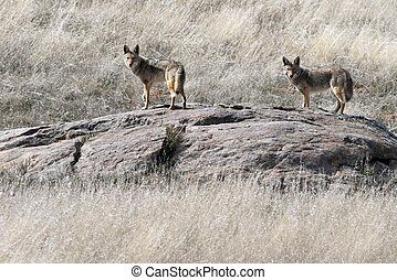 Pair of Coyotes on an Outcropping - A Pair of Coyotes on an ...