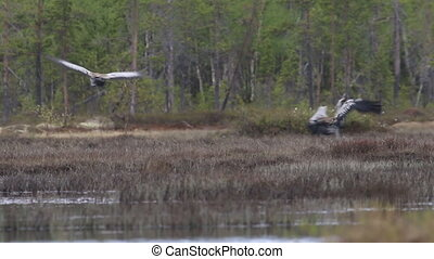 pair of cranes guttural screams and dance - Spring in the...