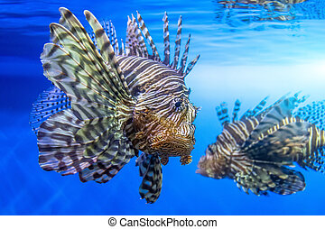 Pair of dangerous lionfish zebra fish in sea water.