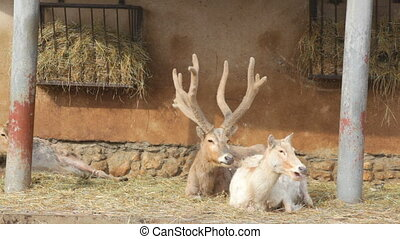 Pair of deer of David lie at a feeding trough in a zoo