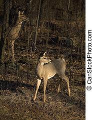 pair of deer