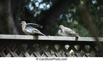 pair of doves on a fence - two doves preen, stretch and rest...