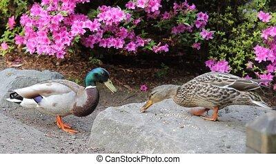 Pair of Ducks Feeding by a Azalea - A Pair of Ducks Feeding...