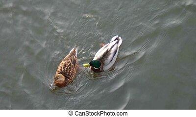 Pair of ducks floating on water above view - Pair of ducks...