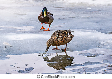 Pair of ducks on the lake surface among the melting ice.