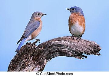 Pair of Eastern Bluebirds (Sialia sialis) on a log