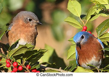 Pair of Eastern Bluebirds (Sialia sialis) perched in a holly bush