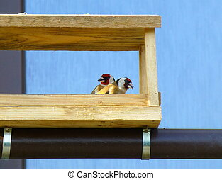 Pair of European goldfinches in the wooden feeder